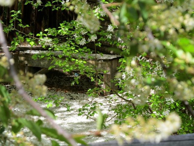 A hidden garden with spring blossoms.