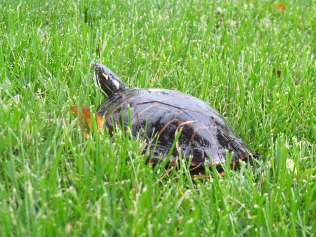 Painted turtle, displaced from his home in the pond water by an environment of very wet weather.