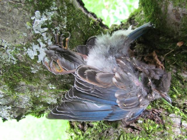A juvenile bluebird.