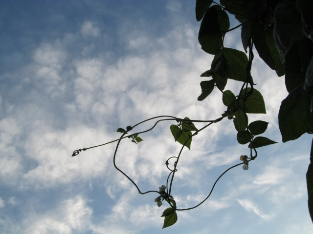 This is a bean pole and scrambling pole bean!  This picture reminds me how clouds sidetrack our good focus in life.