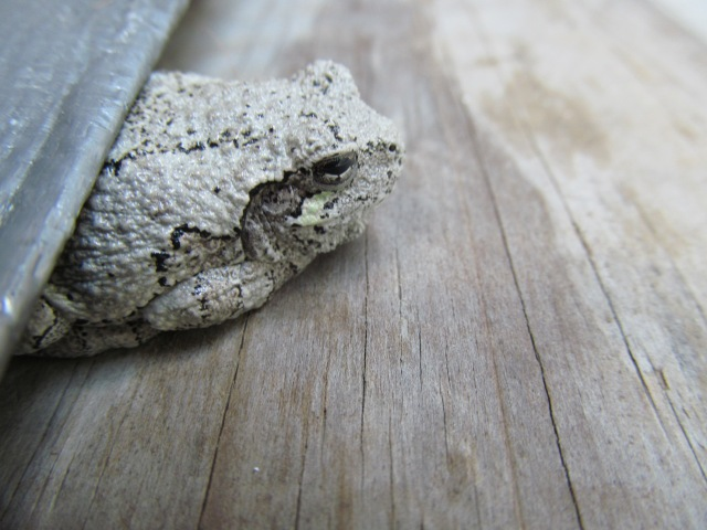 The Gray Tree Frog.  Since he's come to visit, I call him Tree Froggy.