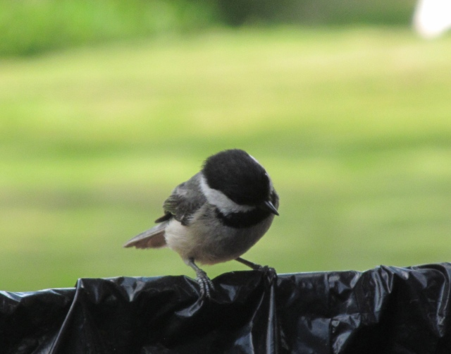 Chickadee, happily  scoping out food in the garbage pail.