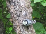 Nuthatch on the Apple tree, so often moving vertically, but stopped for a moment to look at me. Summer 2014.