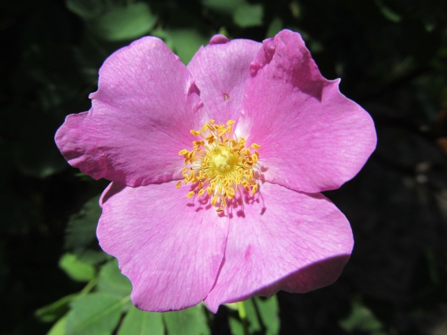 Wild Rose, a hint of cloves, on the trail, one day in the sunshine.