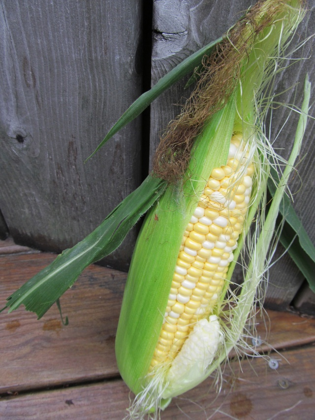 """A North American cereal plant that yields large grains or kernels set in rows on a cob.  It's many varieties yield numerous products highly valued for both humans and livestock."