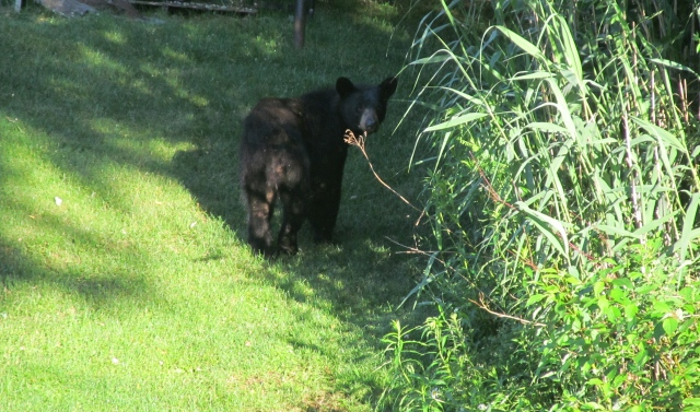 Black bear making his early morning walk one day last summer.
