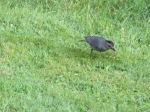 Catbird in the grass, eating worms.  C. E. Eksuzian 2015
