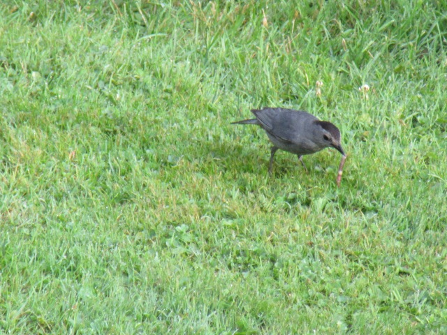 Catbird in the grass, eating worms.  C. E. Eksuzian 2015