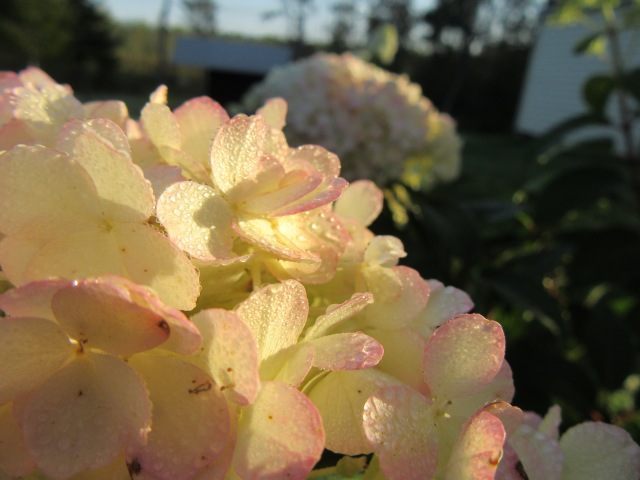 Sunlight wakes up a Hydrangea blossom during an early September sunrise.