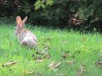 Summer bunny in the grass.  CE Eksuzian 2015