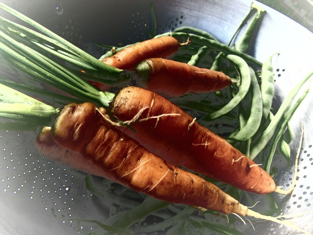 Carrots from the garden, rest on top of Kentucky Wonder pole beans!  From our Autumn harvest 2016CE Eksuzian 2016